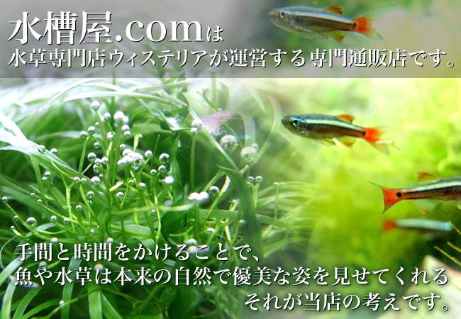 水槽屋.comは、新潟の水草専門店ウィステリアが運営するアクアリウム専門通販店です。